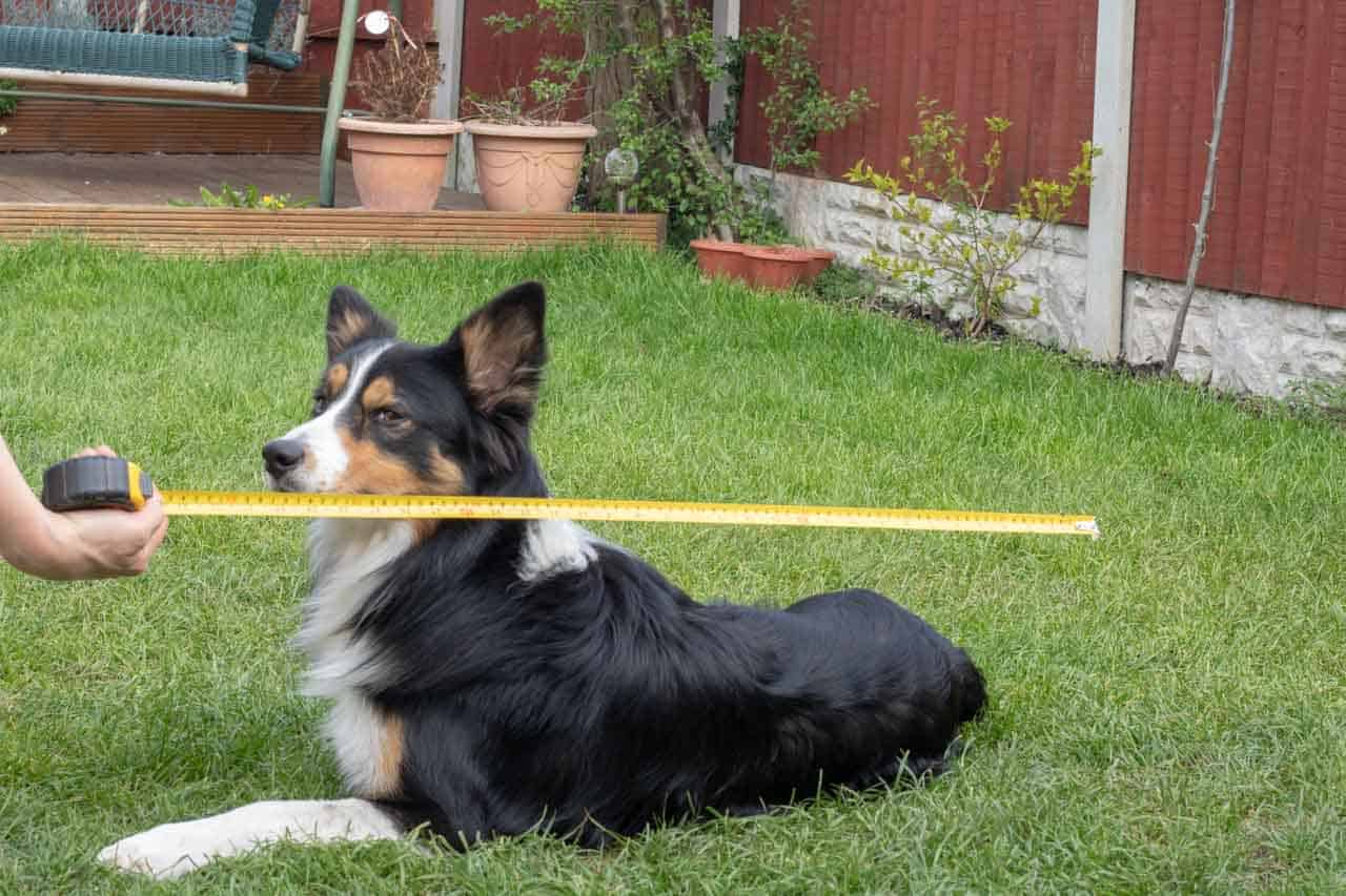 Measuring dog for a kennel or house