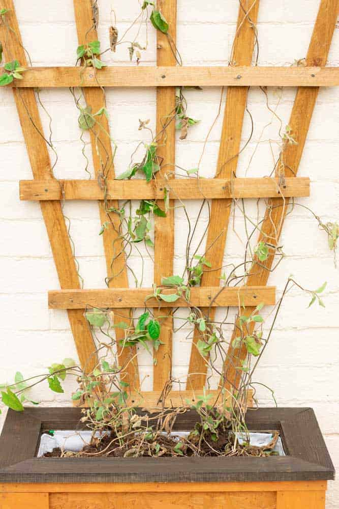 trailing clematis on trellis