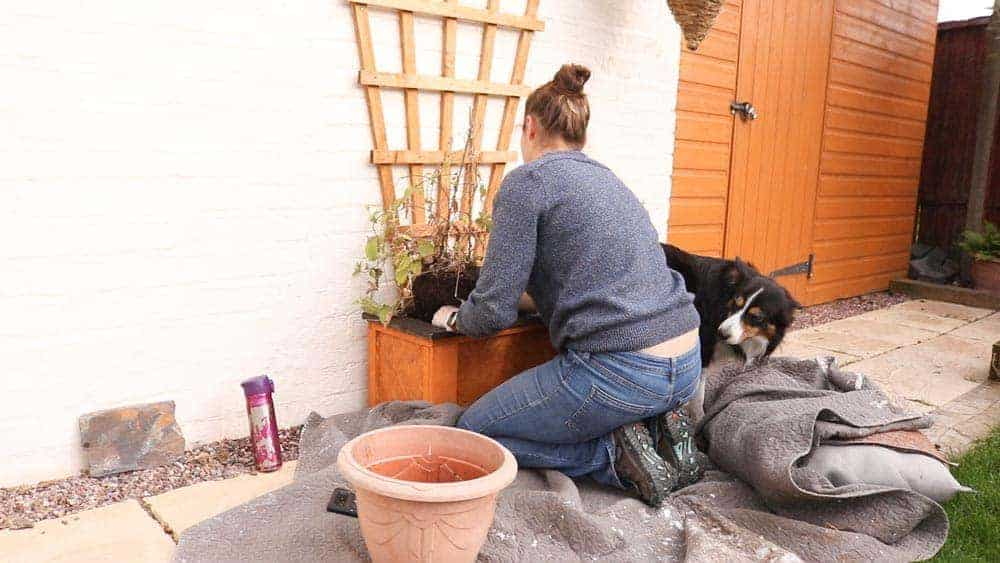 putting clematis in trellis planter
